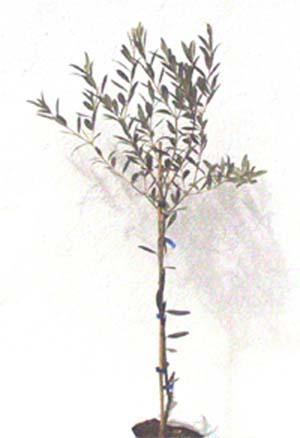 Kleine Olivenbaum Souvenir von Kos